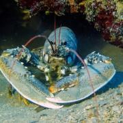 Affrontare il disagio l'aragosta e il suo guscio - uym